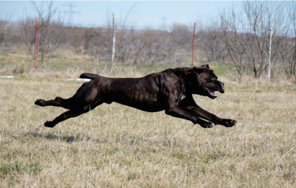 10 Things Only A Cane Corso Owner Would