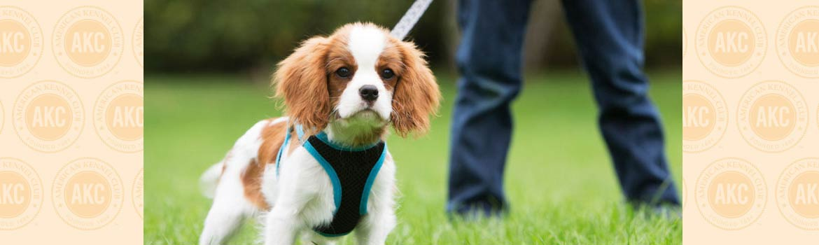 How to Teach a Puppy to Walk on a Leash - thumbnail