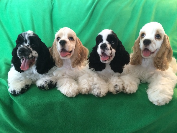 group of cocker spaniels