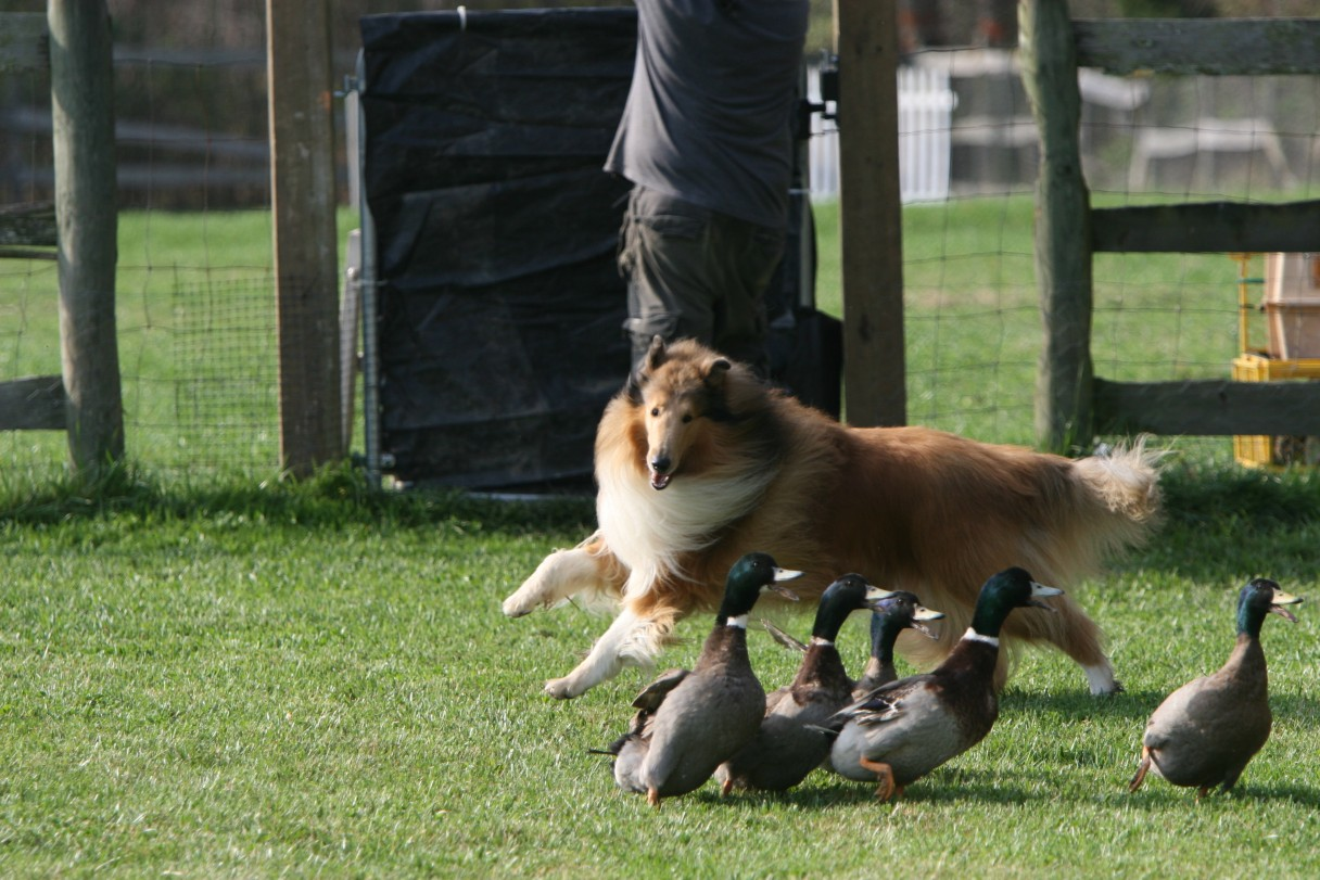 collie herding 1