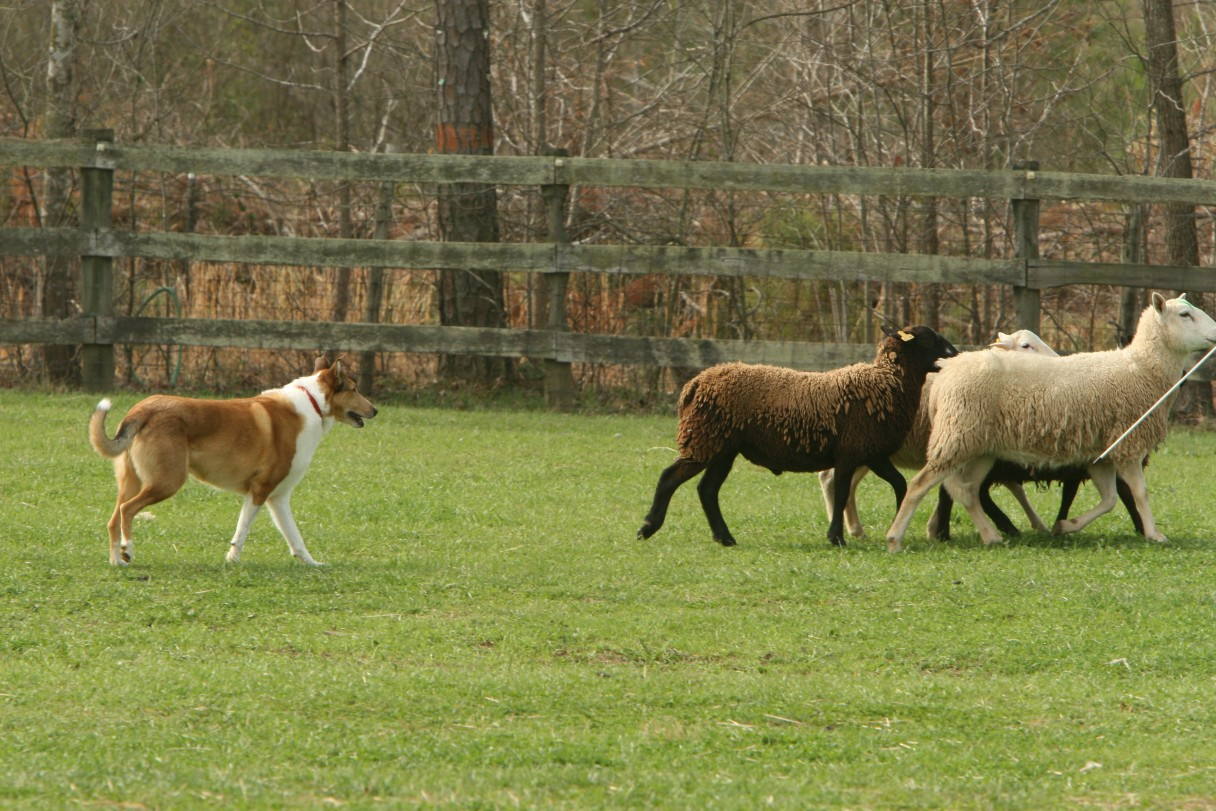 Collie herding 2
