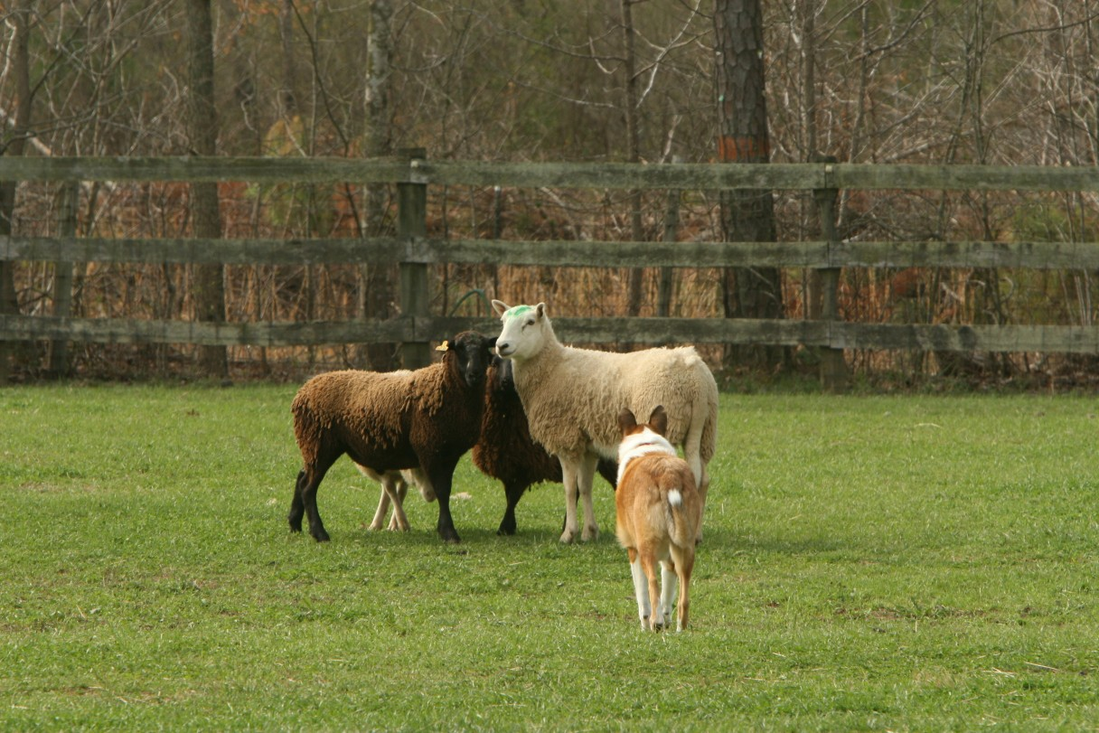 collie herding 3