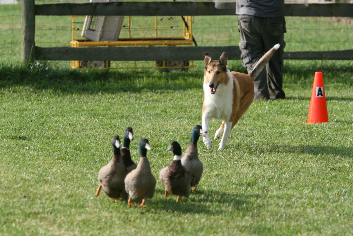 collie herding 6