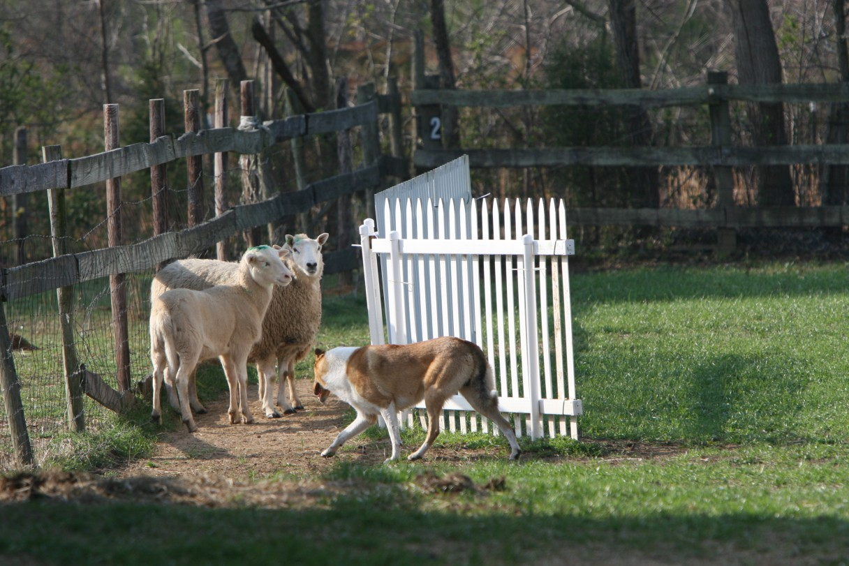 collie herding 7