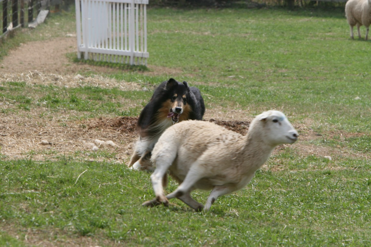 collie herding 8