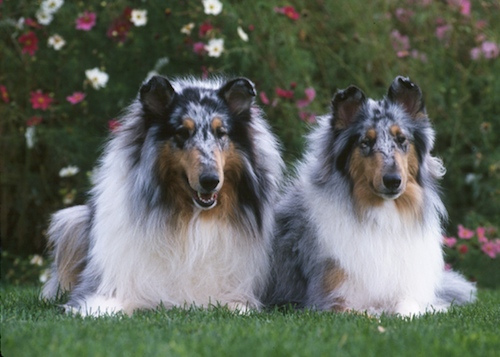 Collies Blue Merle
