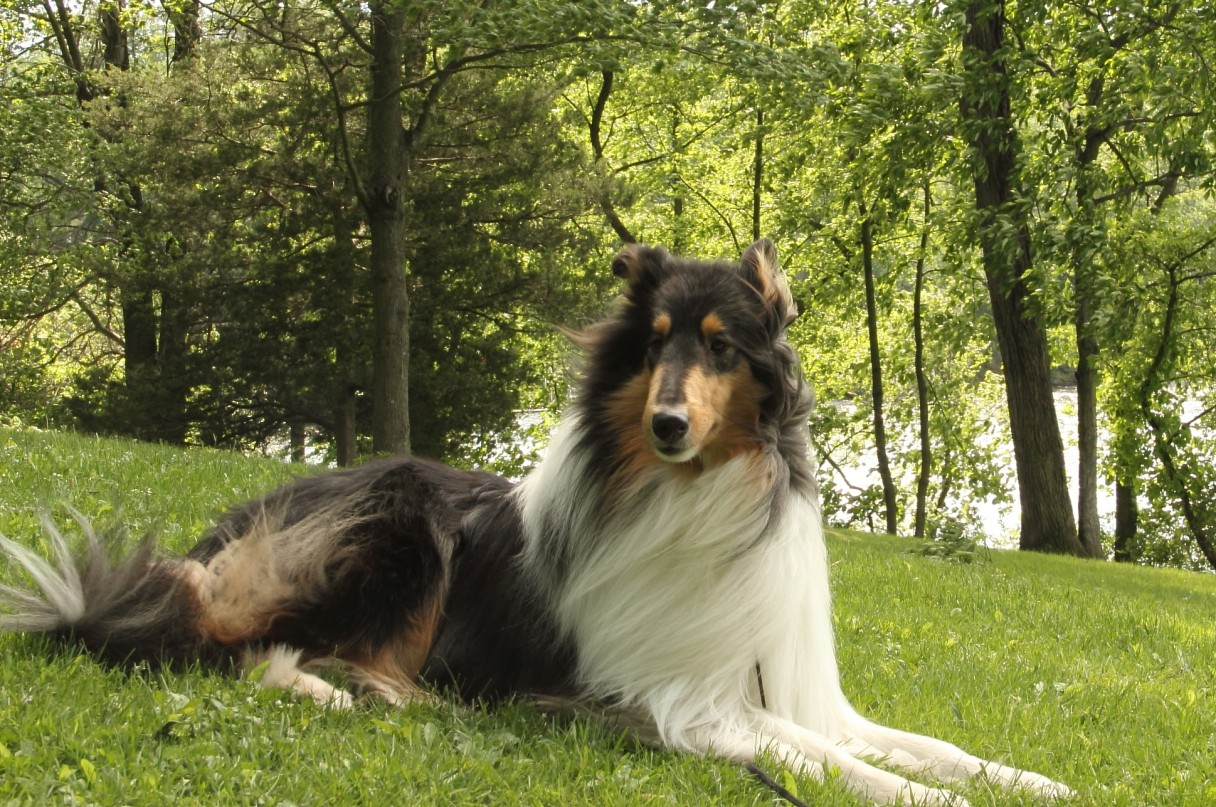 Crazy for Collies 7