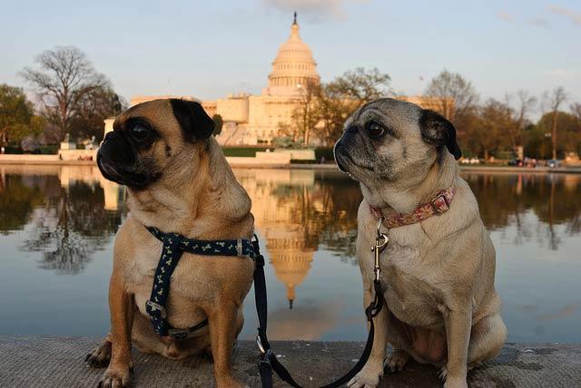 DC pugs