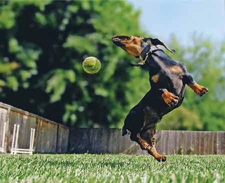 Dauchshund jumping with ball