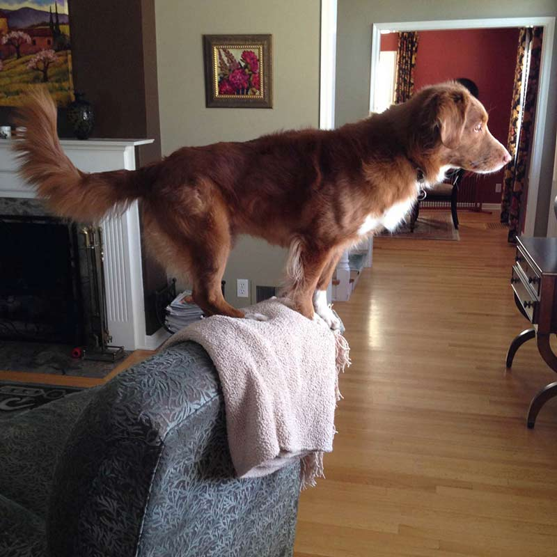 10 Reasons To Get A Toller And 10 Reasons Not To Get A Toller