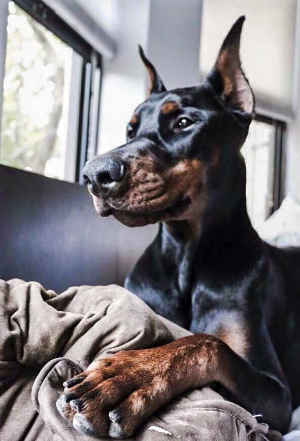 doberman pinscher behavior
