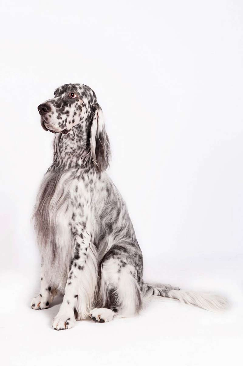 English Setter body image