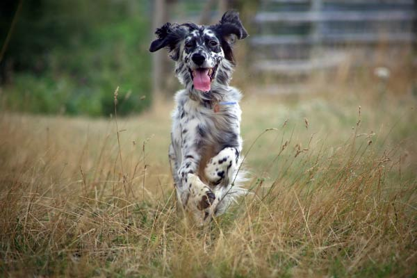 English Setter running through grass