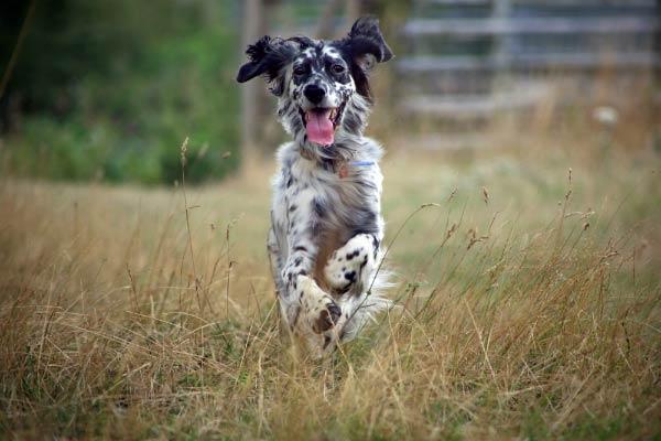 English Setter running through grass