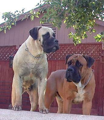 Boerboel History Amp Training Temperament American Kennel Club