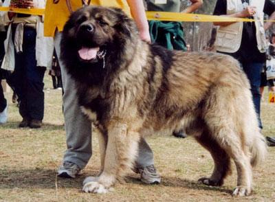 caucasian shepherd dog history amp trainingtemperament