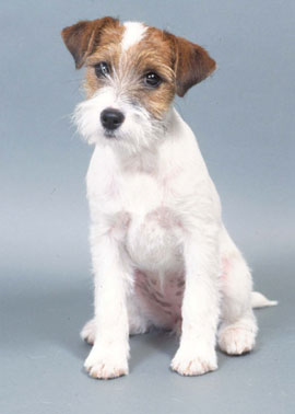 Parson Russell Terrier History Amp Training Temperament American Kennel Club