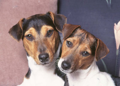 Parson Russell Terrier History & Training/Temperament ...