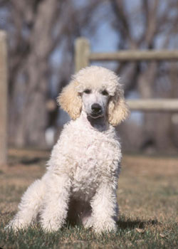 Image result for French poodles actually originated in Germany.