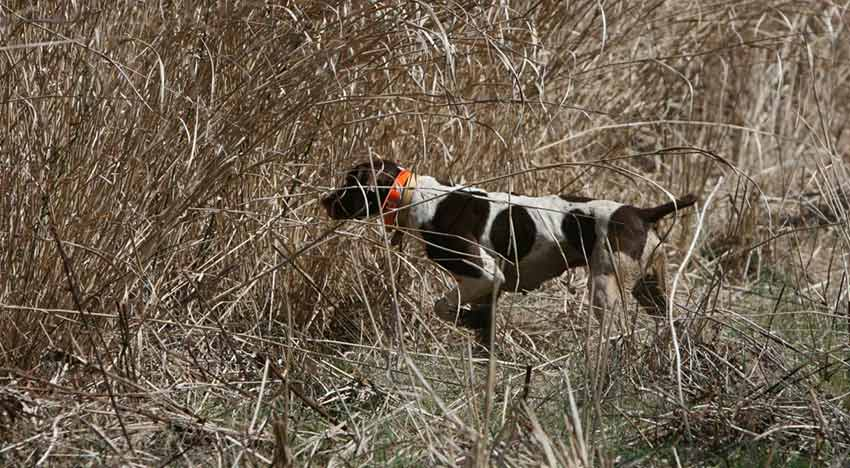 Eligible Breeds for Pointer Field Trials