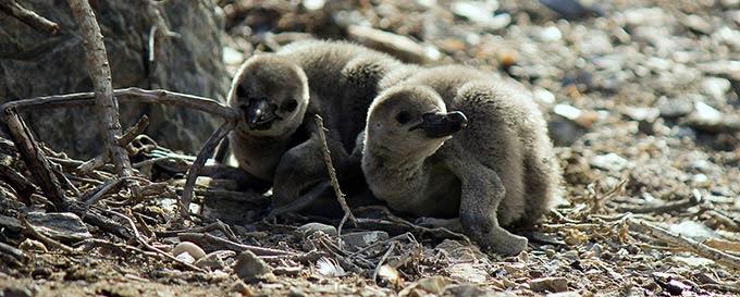 Finn Penguins