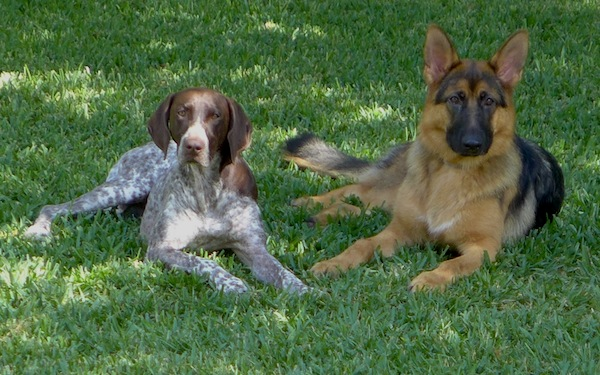 German Shorthaired Pointer and German Shepherd