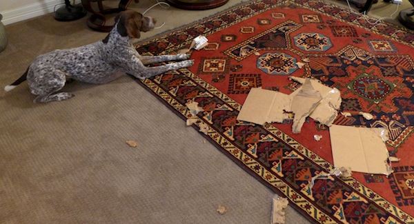 German Shorthaired Pointer playing with cardboard