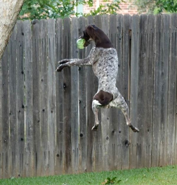 German Shorthaired Pointer jumping