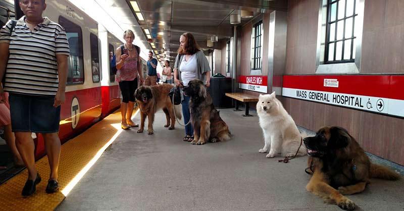 Giant Dogs in Boston 1