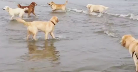Dozens Of Golden Retrievers Play In The Ocean But Keep Your Eyes On