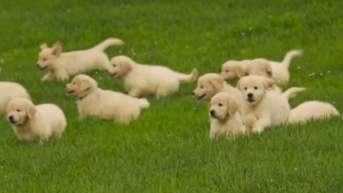 What Does 21 Golden Retriever Puppies Frolicking Outside Look Like
