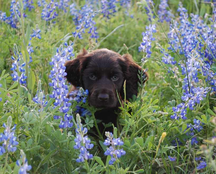 Puppy Blue Flowers