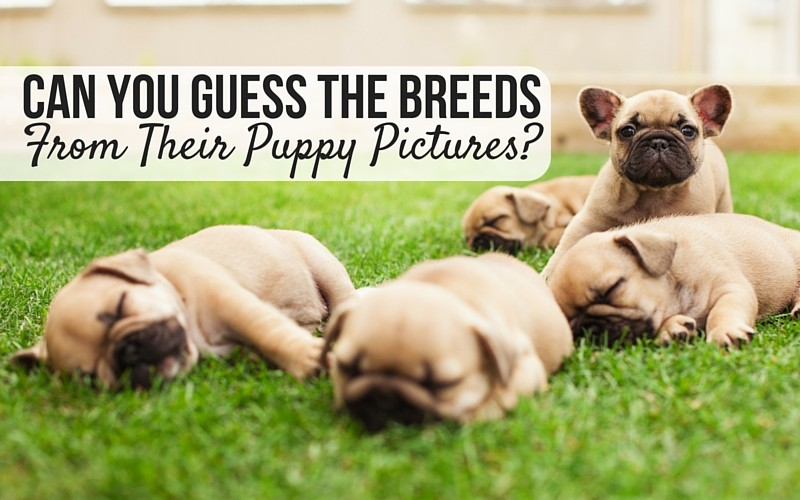 Guess the breeds from their puppy pictures