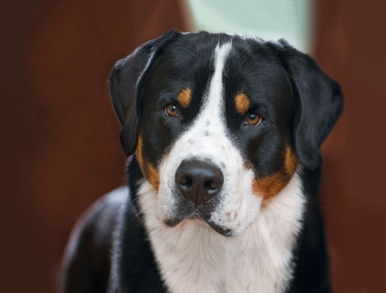 Gus - Greater Swiss Mountain Dog