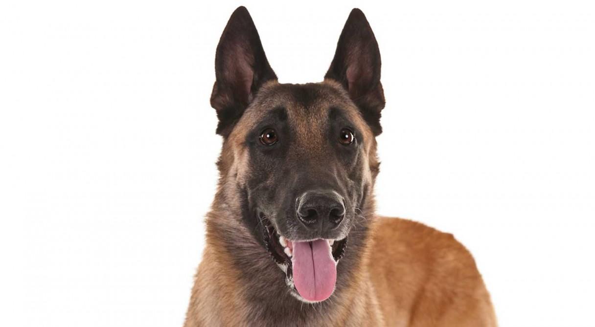 Belgian Malinois Dog Breed Information American Kennel Club