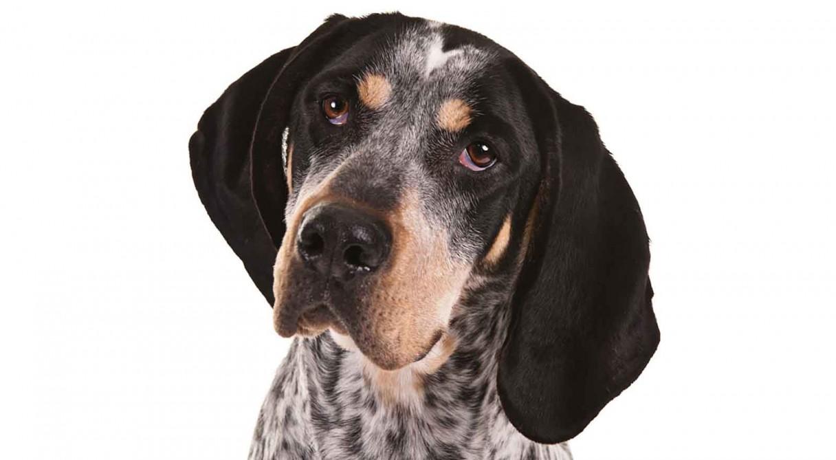 Bluetick Coonhound Dog Breed Information - American Kennel ...