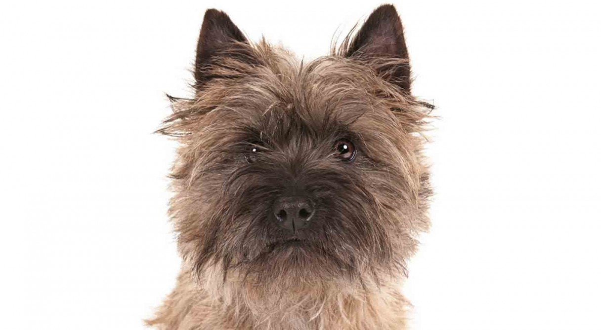 Images of a cairn terrier