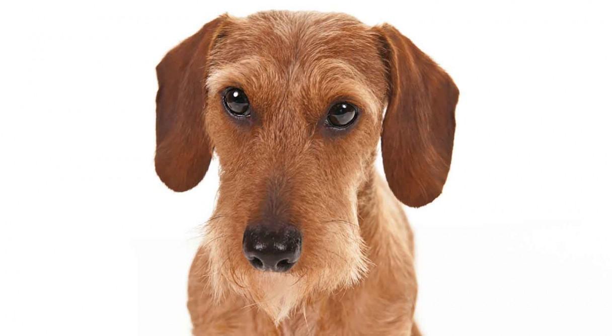 Dog Breeds Dachshund