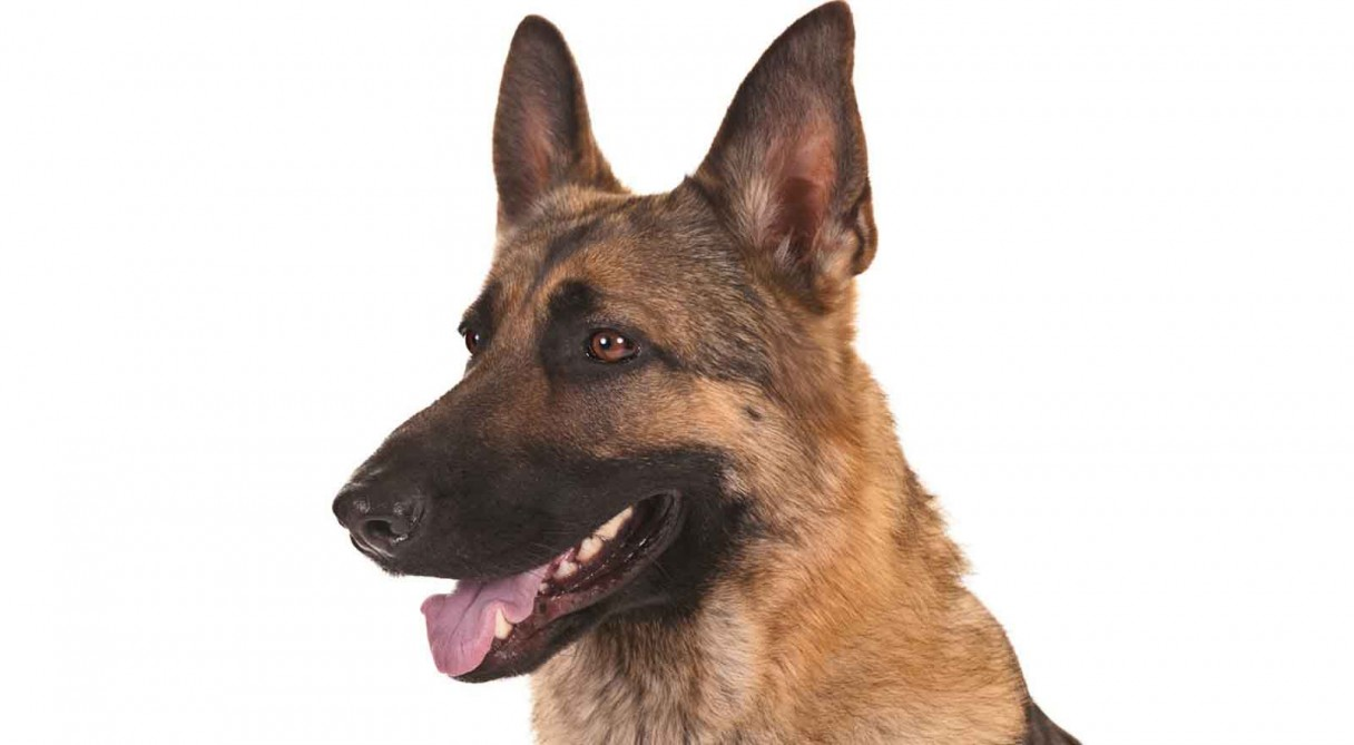 German shepherd dog health care information nvjuhfo Choice Image