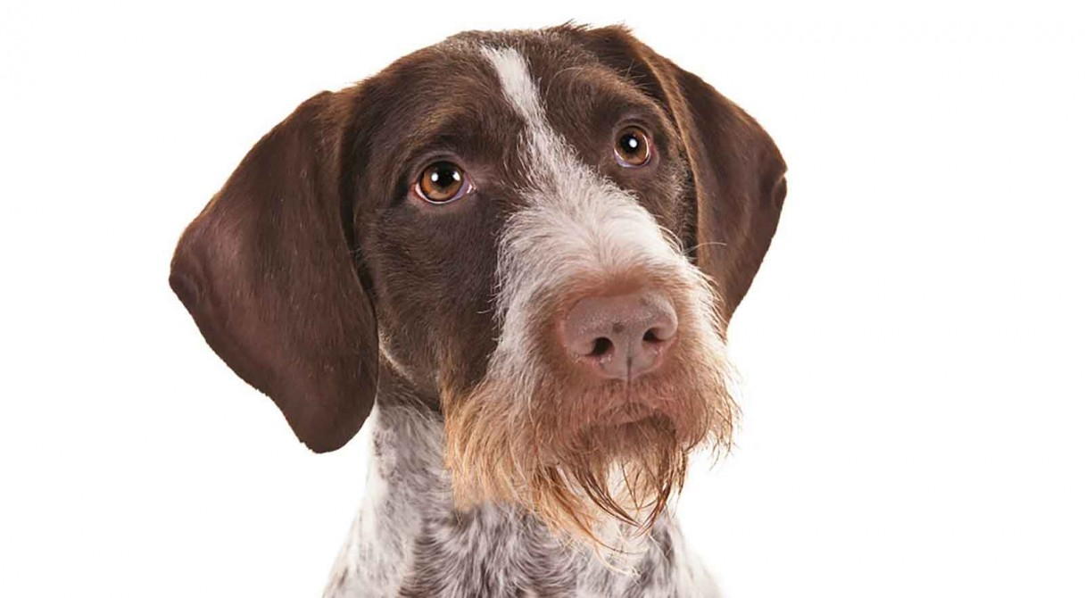 German Wirehaired Pointer Dog Breed Information - American ...
