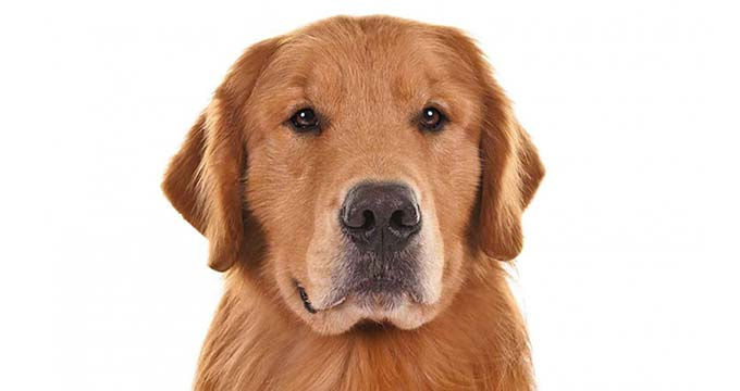 Akc golden retriever information