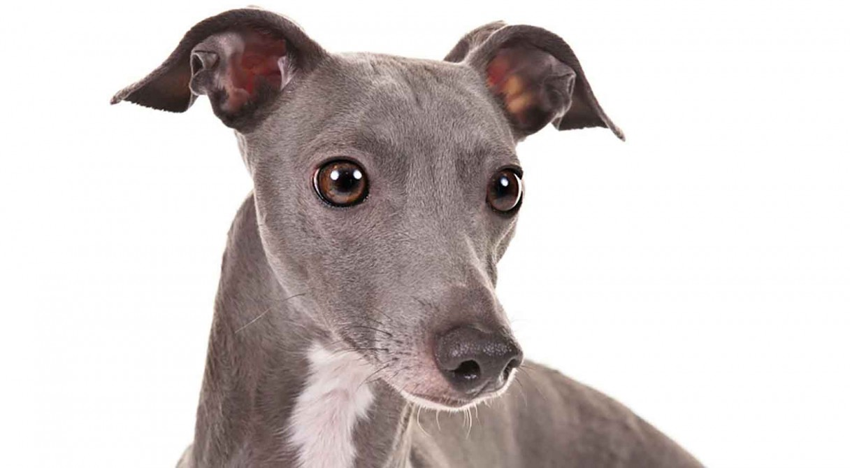 italian greyhound history amp training temperament