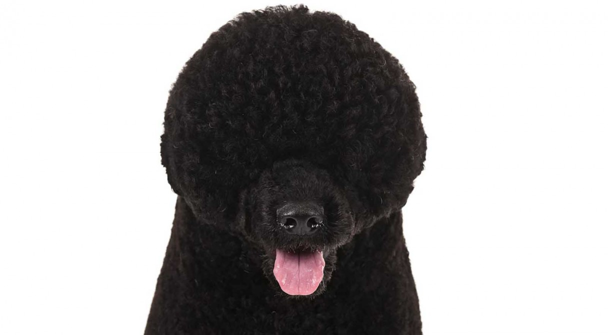Portuguese Water Dog Breed Information American Kennel Club