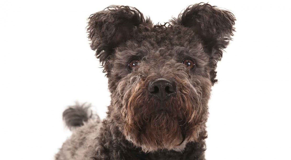 Pumi Dog Breed Information