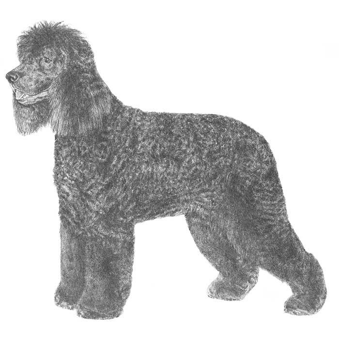 Irish Water Spaniel breed type