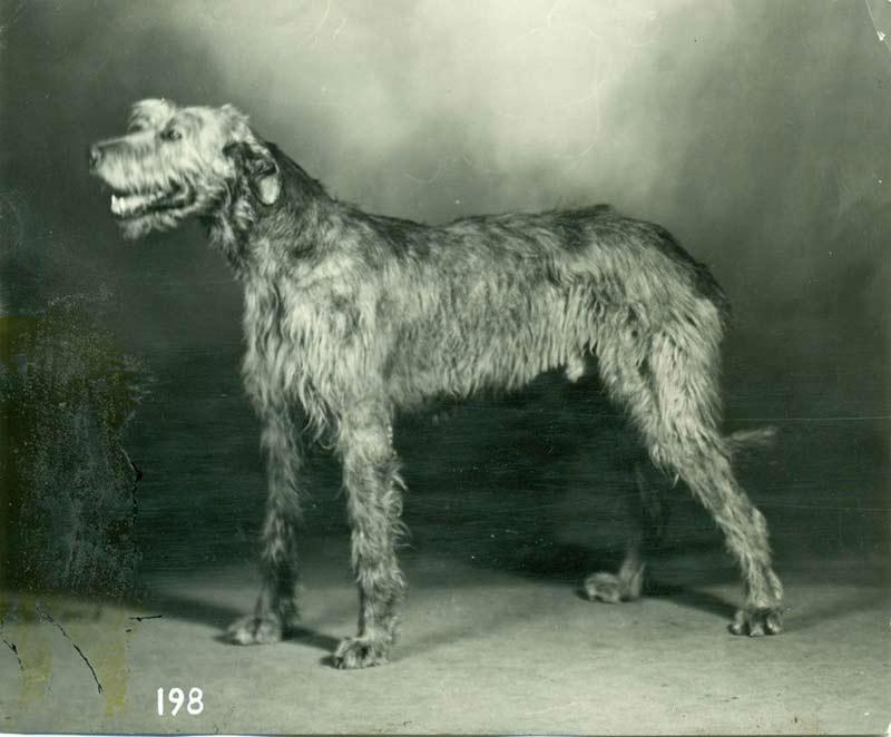 Irish Wolfhound Histor...