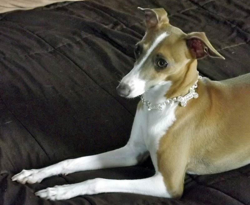 Mimi the Italian Greyhound