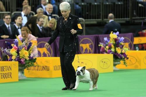 bulldog wkc nonsporting group
