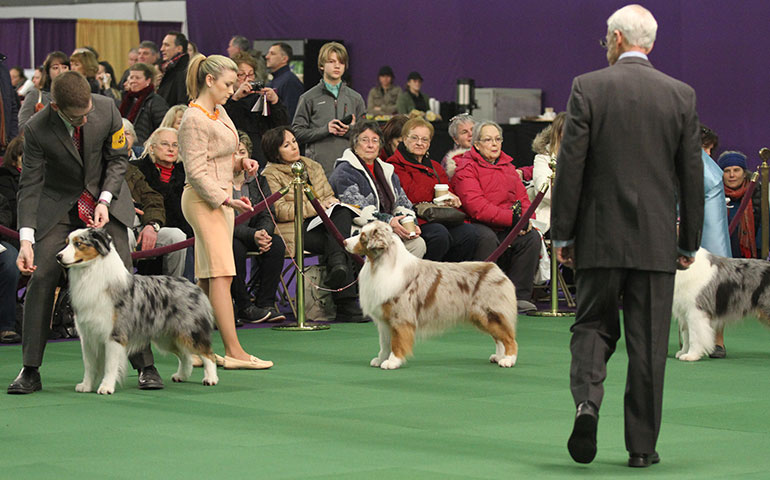 Choosing A Champion: Judges Face A Tough Task At Westminster