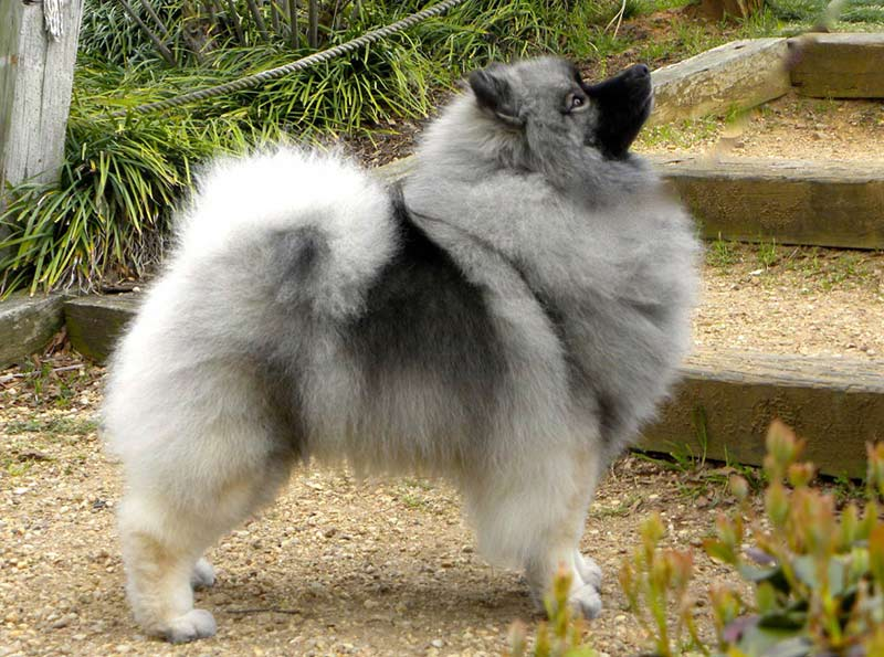 Young Keeshond female